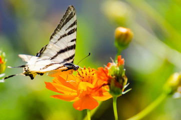 Colored butterfly laying on an orange flower. Blurry background.