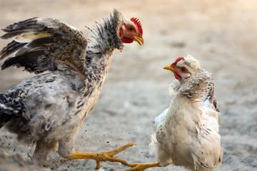 quarreling fighting chickens