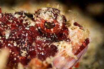 juvenile tasseled scorpionfish head closeup