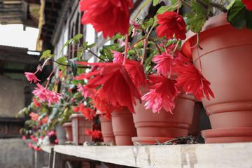 "Beautiful pink ""Angel Wing Begonia"" flowers in pots"