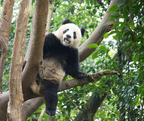 panda climbing up on the tree looking around