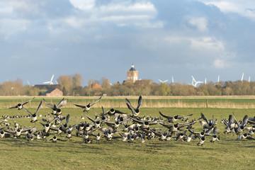 Deutschland, Niedersachsen, Ostfriesland, Krummhörn, Weißwangengans (Branta leucopsis), auch als Nonnengans bezeichnet. Weißwangengans (Branta leucopsis), auch als Nonnengans bezeichnet.