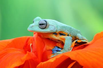 Tree frog, wallece, flying frog