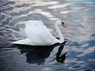 White swan sweaming at the beautiful lake