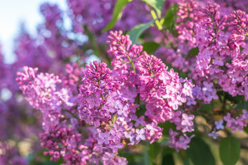 Purple lilac flowers at the blue sky background. Beautiful spring background. Copy space.