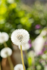 Tender white dandelions in the summer time. Beautiful summer background. Copy space.