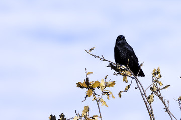 Wild raven in park - Bedfont Lakes Country Park, London