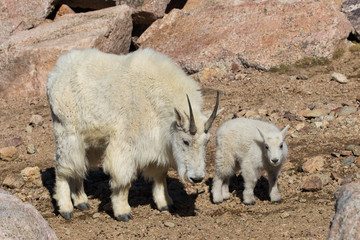 Mountain Goat Nanny and Kid