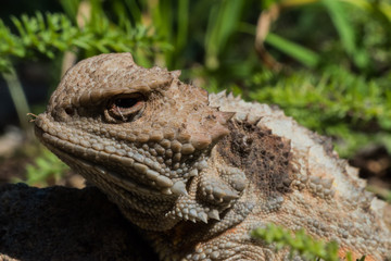 Macro Horned Toad: Forest Lizards