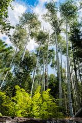 Aspen Trees With Green Leaves: Flagstaff Arizona