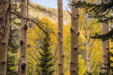 Aspen Tree Fall Colors: Flagstaff Arizona, Inner Basin Trail