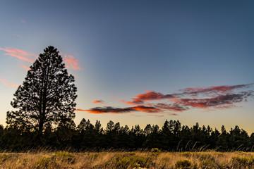 Flagstaff Arizona Ponderosa Pine Sunset