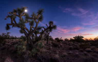 Joshua Tree and Moon Lit Night