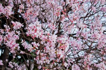 Beautiful full bloom pink cherry blossom sakura flowers trees