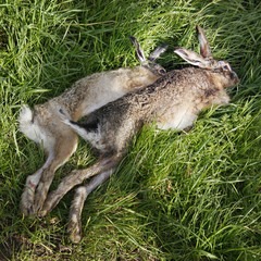 dead hares lie on ground at hunting party