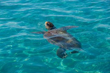 Turtle Caretta Caretta in the sea