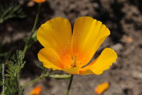 Orange californian poppy flower or golden poppy california orange californian poppy flower or golden poppy california sunlight cup of mightylinksfo