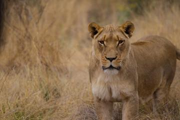 leone, leonessa nella savana