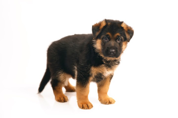 Adorable German Shepherd puppy standing indoors on a white background