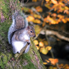 grey squirrel perched on a small tree branch in autumn british woodland