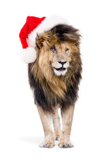 African Lion Wearing Christmas Santa Hat
