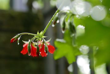 Rote Blüten mit Regentropfen