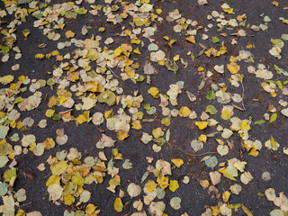 Autumn yellow leaves lying on the ground. Texture