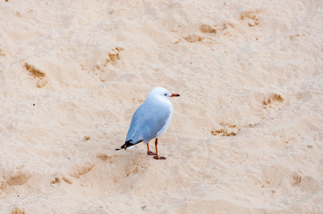 Silver seagull standing on the sand