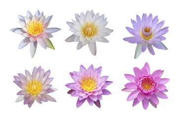 group of lotus on white background