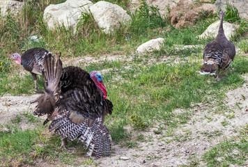 Female Wild Turkey American bird landscape with green meadow