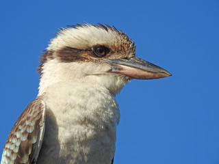 Australian blue winged  kookaburra