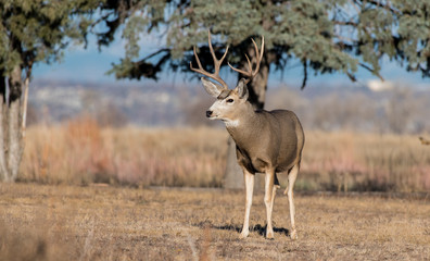 A Large Mule Deer Buck During Fall in Colorado