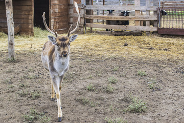 The deer left the house and walked. Behind the sheep enclosures.