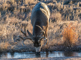 A Large Mule Deer Drinking Water from a Stream