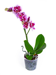 Purple orchid. The Orchidaceae are a diverse and widespread family of flowering plants, with blooms that are often colourful and fragrant, commonly known as the orchid family. Photo.