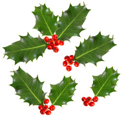 holly leaves and berries isolated on white background