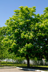 Blossoming chestnut tree (Aesculus hippocastanum) in park