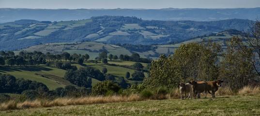 Vache aubracoise à Castelnau-de-Mandailles, Aveyron, France