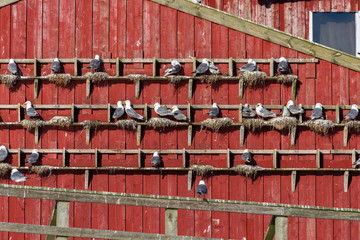 seagull bird nest at abandon house, norway