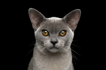 Portrait of Adorable Blue Burmese Cat with unusual eyes isolated on black background, front view