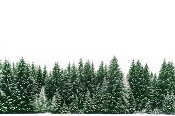 Spruce tree forest covered by fresh snow during Winter Christmas time. The winter scene is almost duotone due to the contrast between the frosty spruce trees, white snow foreground and white sky. Wall mural