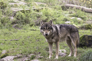 Photo sur Plexiglas Loup Eurasian wolf - Gray wolf (Canis lupus lupus) in the wild, Sainte-Croix, France