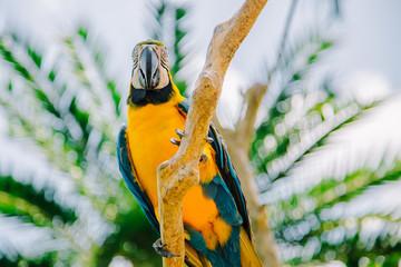 Blue yellow Macaw Parrot bird. Ara Ararauna