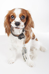 Dog with handcuffs. Cavalier king charles spaniel in studio illustrate crime. Illustration against animal cruelty. Blenheim dog hold handcuffs. Cute.Beautiful friendly cavalier king charles spaniel