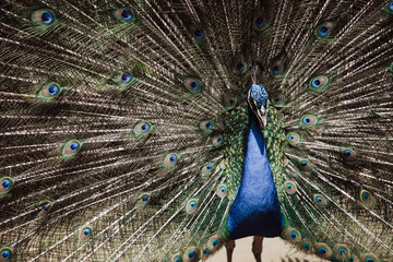 Male peacock bird. Open feathers tail. Pavo Cristatus