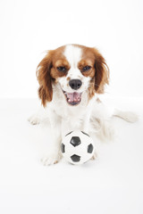 Dog with toy ball. Cavalier king charles spaniel dog puppy with toy soccer ball soft little football on white studio background. Cute puppy photo for every conceptBeautiful friendly cavalier king