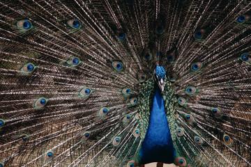 Male peacock bird. Open feathers tail. Pavo Cristatus
