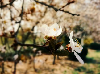In the frame on the almond tree branch in early springtime.