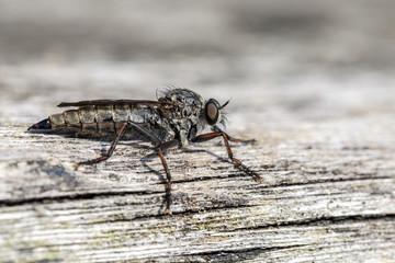 Raubfliege - Asilidae auf einem Holzstamm - Makroaufnahme