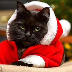 Festive portrait of black cat dressed as Santa Claus